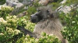 Saw a baboon fight a dog
