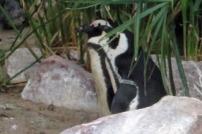 penguin-love-1