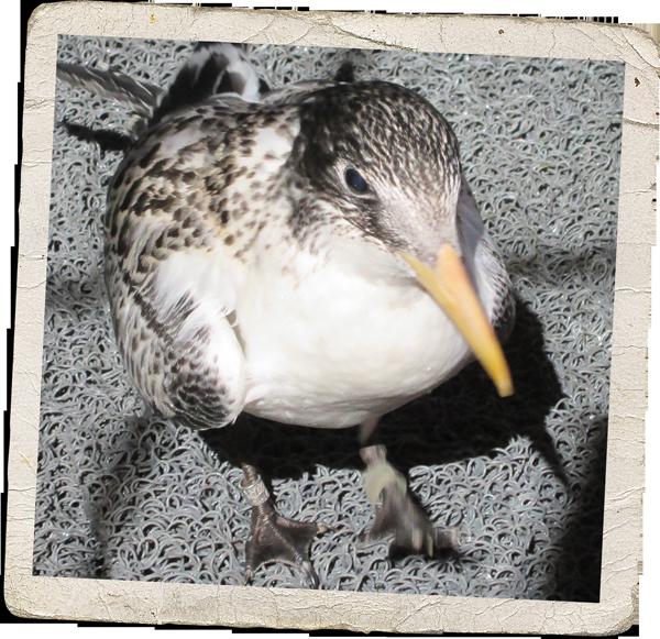 swift-tern