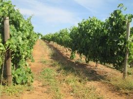 Studied wine & viticulture