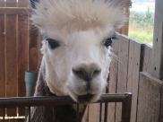 Visited an alpaca farm